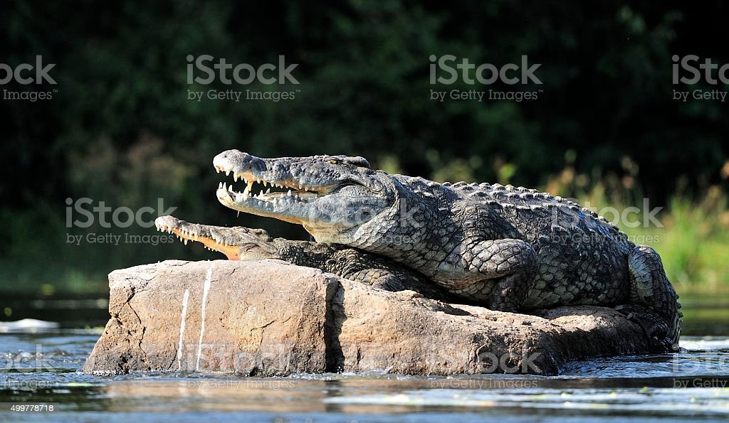 Nile crocodile. Two crocodiles , having opened from a heat stock photo