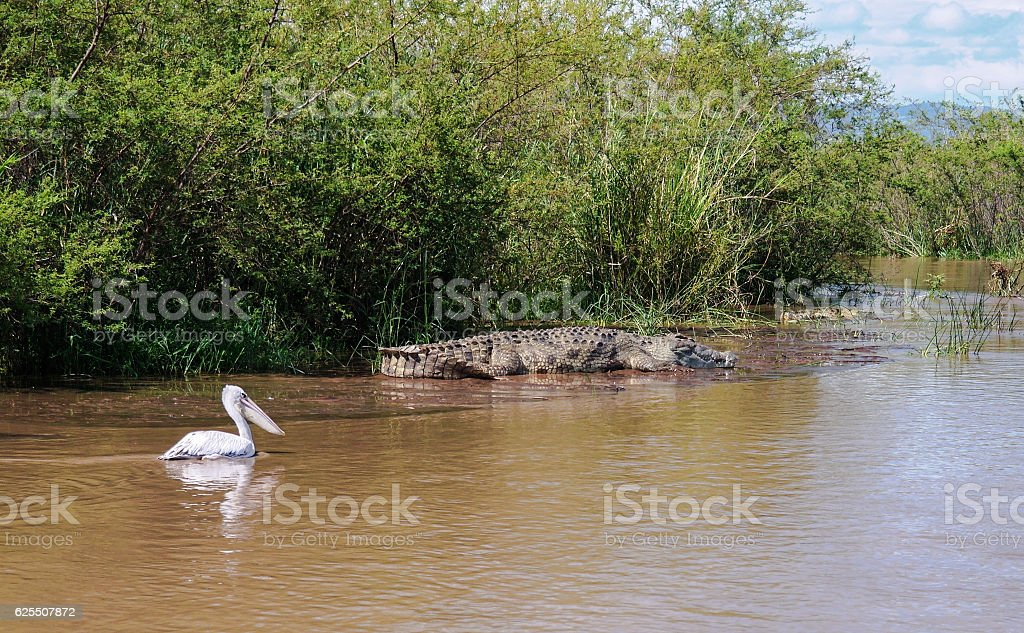 Nile crocodile White pelican Chamo lake, Nechisar national park, Ethiopia stock photo