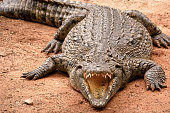 Nile crocodile with gaping mouth