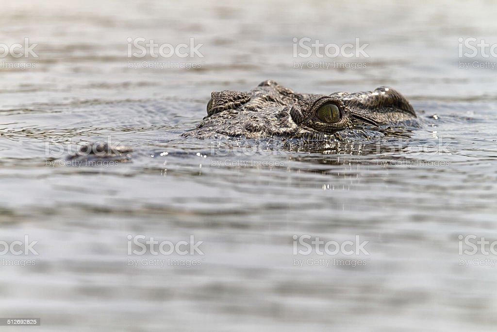 Nile crocodile, Zambesi, Botswana stock photo