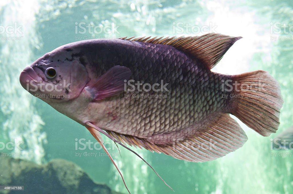 nile or tilapia fish in water tank stock photo