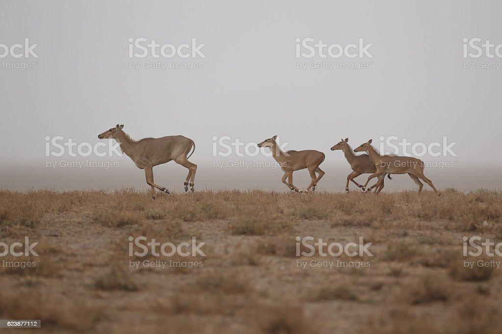 nilgai antelope in the desert little rann of kutch stock photo