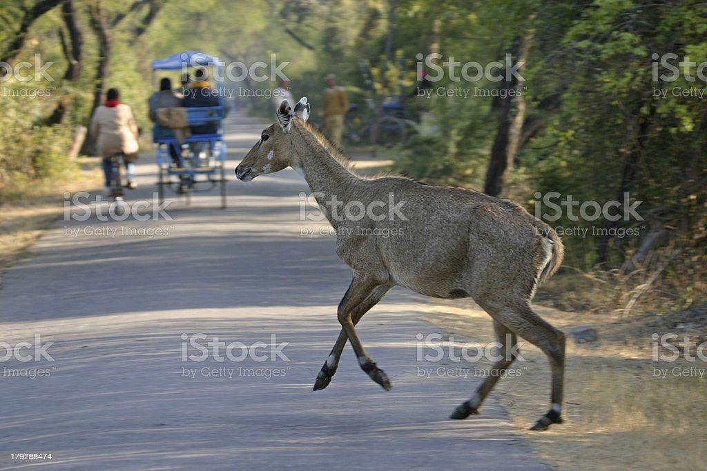 Nilgai crossing road stock photo