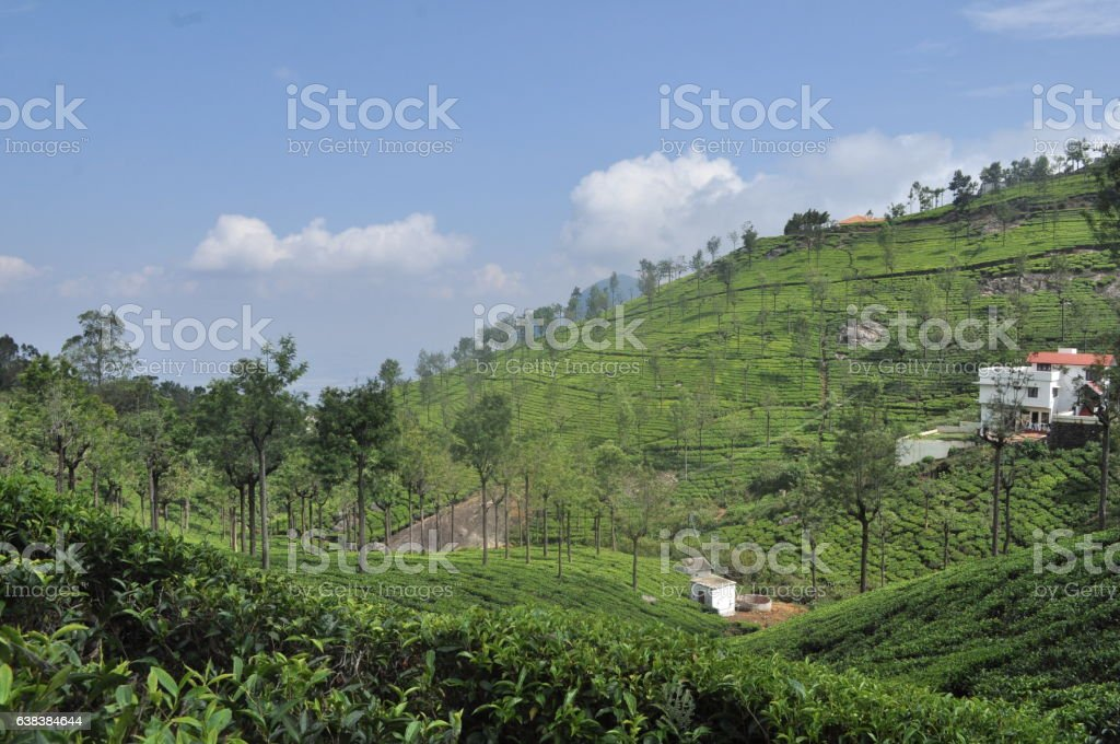 Nilgiri Tea Farm stock photo