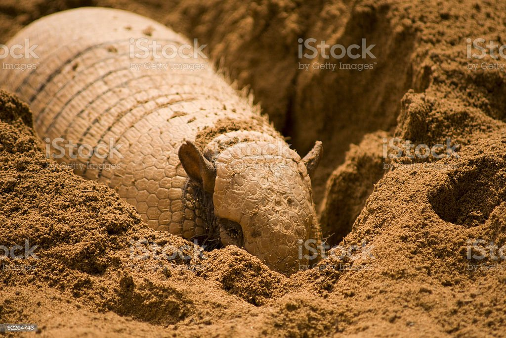 A nine banded armadillo in the dirt stock photo