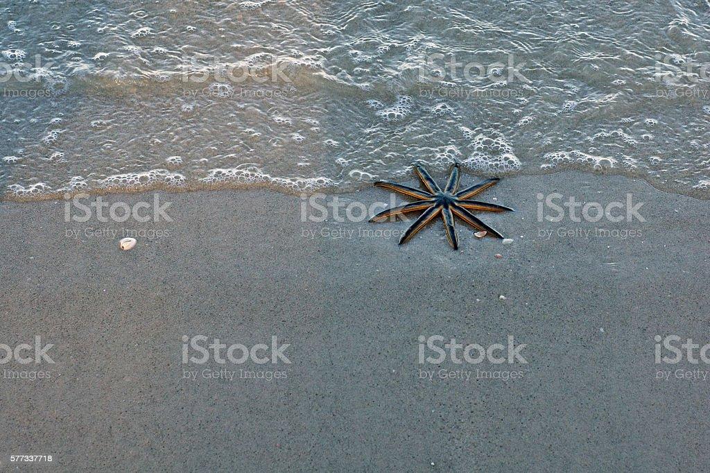 nine legged starfish stock photo