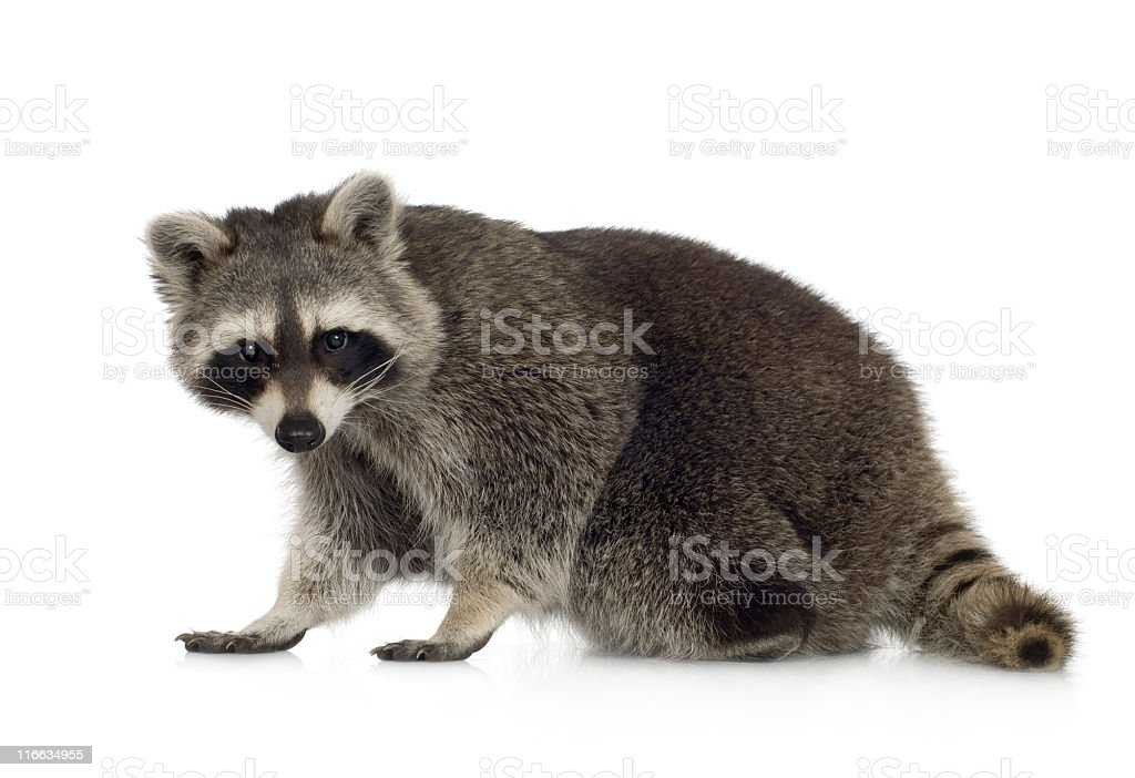 Nine month old raccoon who is standing stock photo