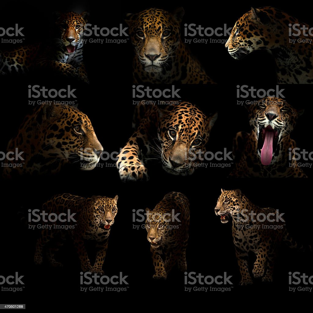 Nine shots of a jaguar posing in the dark stock photo
