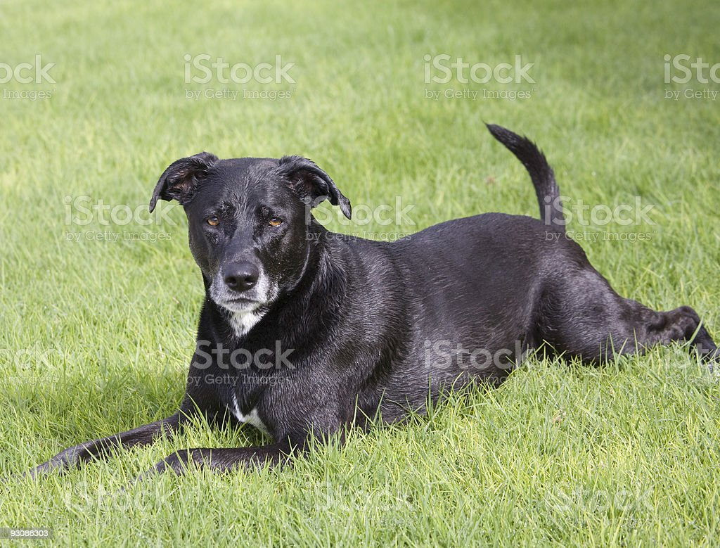 nine year old black labrador stock photo