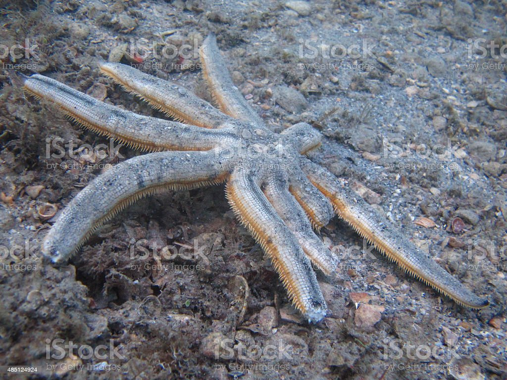 Nine-armed Sea Star stock photo