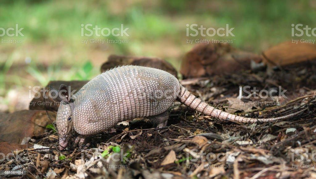 Nine-banded armadillo (Dasypus novemcinctus) stock photo