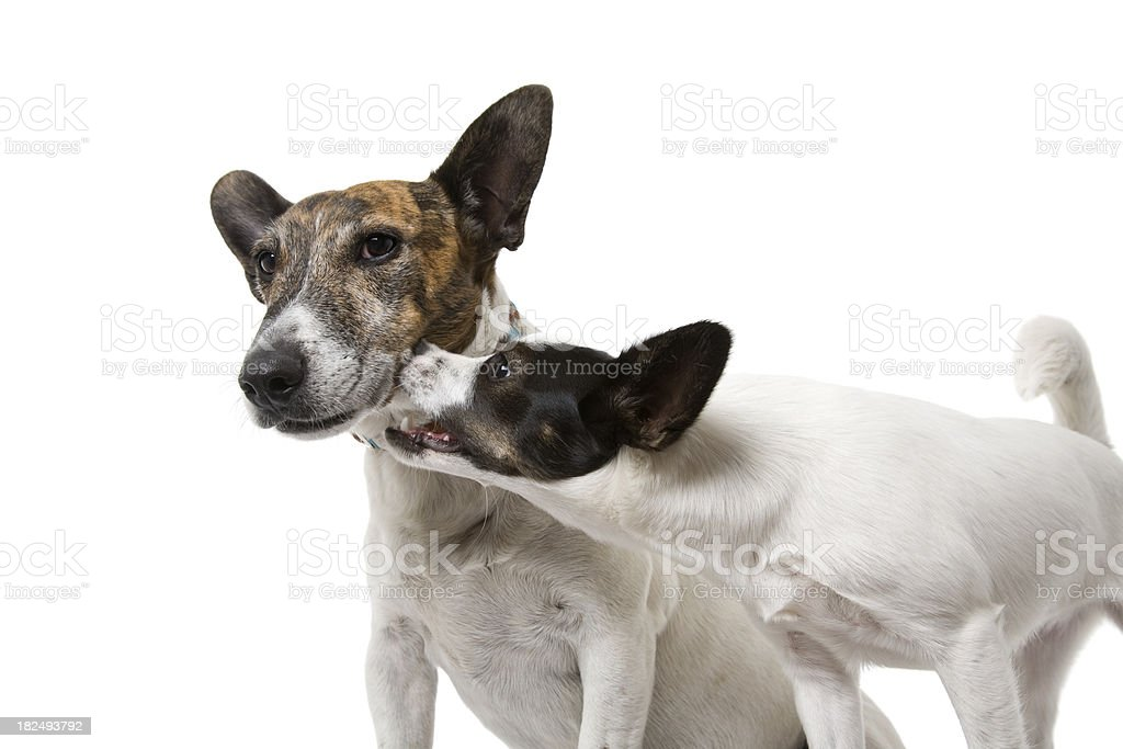 Nipping Puppy royalty-free stock photo
