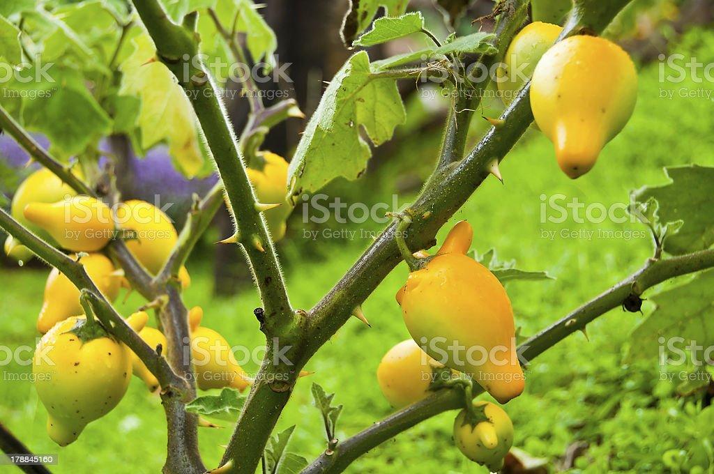 Nipple fruit eggplant. royalty-free stock photo