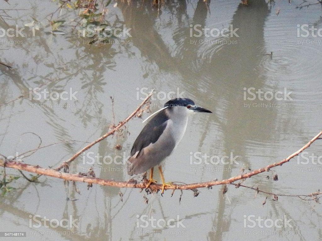 Nitticora sul fiume stock photo