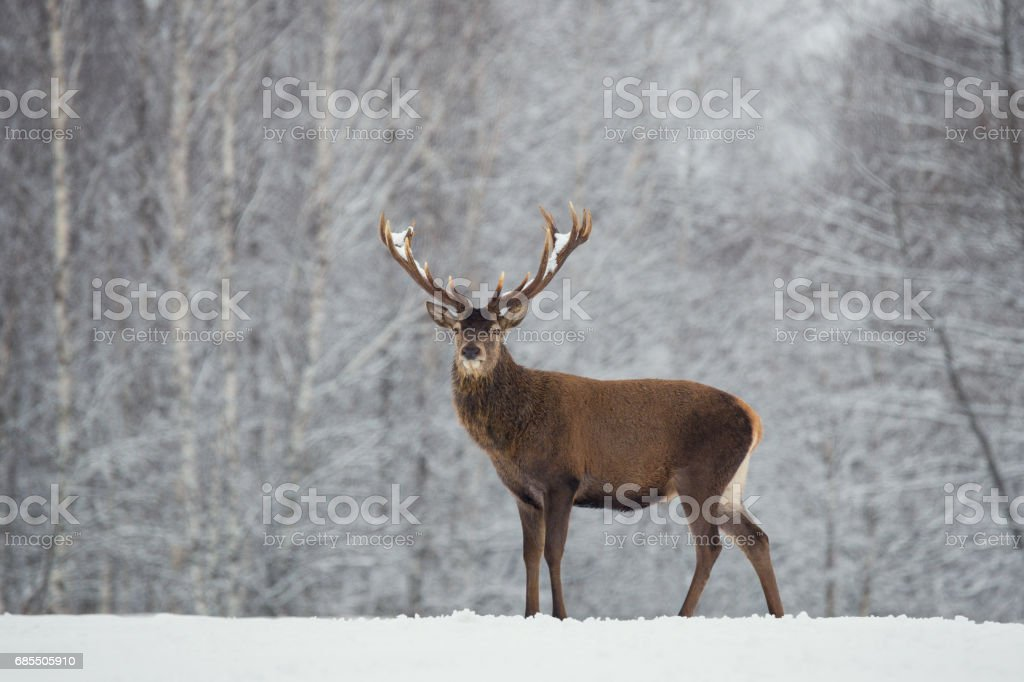 Noble deer with big beautiful horns on snowy field on forest background. Lonely antlered stag. stock photo
