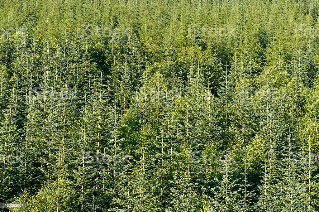 noble fir forest, Abies procera, Washington stock photo