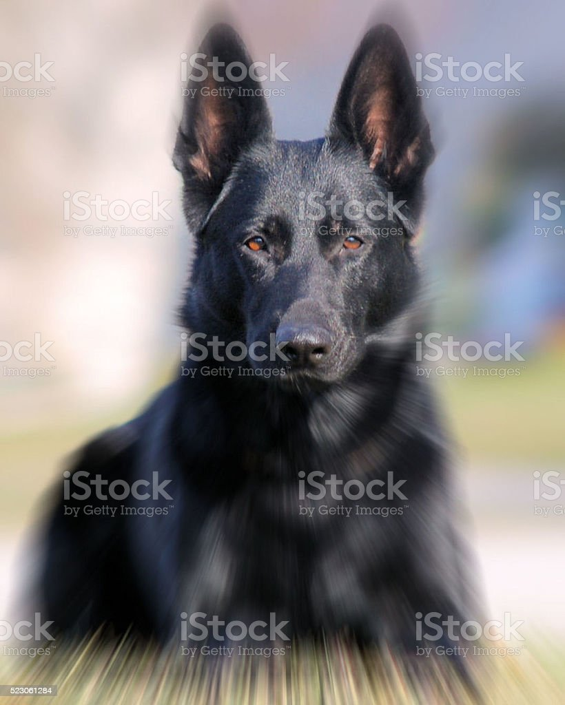 Noble German Shepherd stock photo