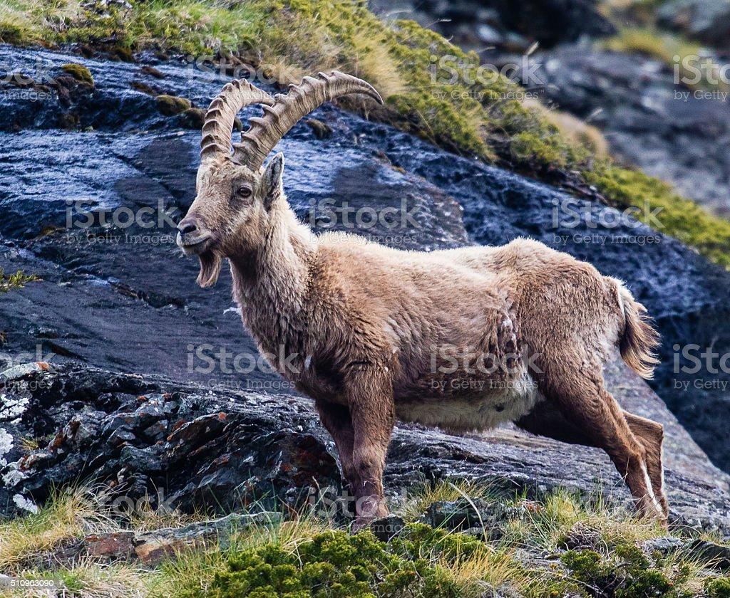 Noble male ibex stock photo