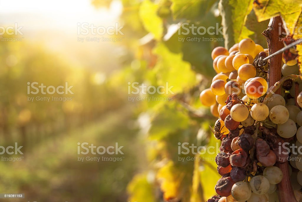 Noble rot of a wine grape, botrytised grapes stock photo