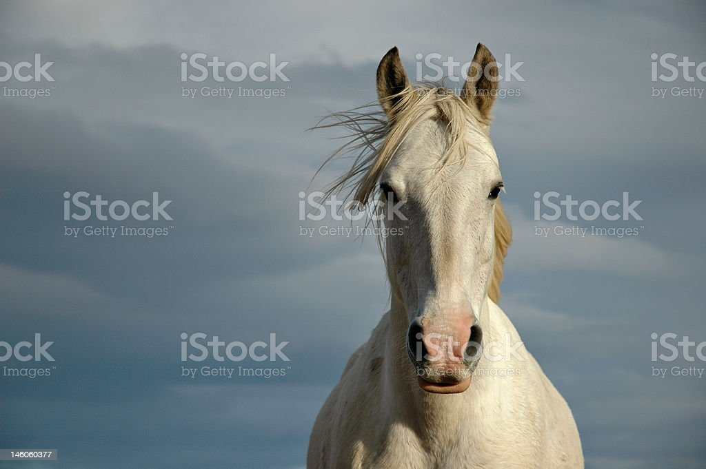 Noble White Horse stock photo