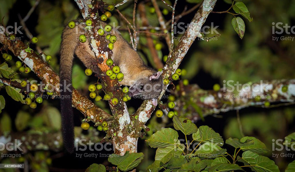 Nocturnal animals Small-toothed palm civet stock photo