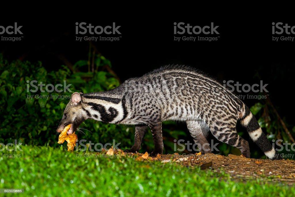 Nocturnal animals Viverra zibetha stock photo