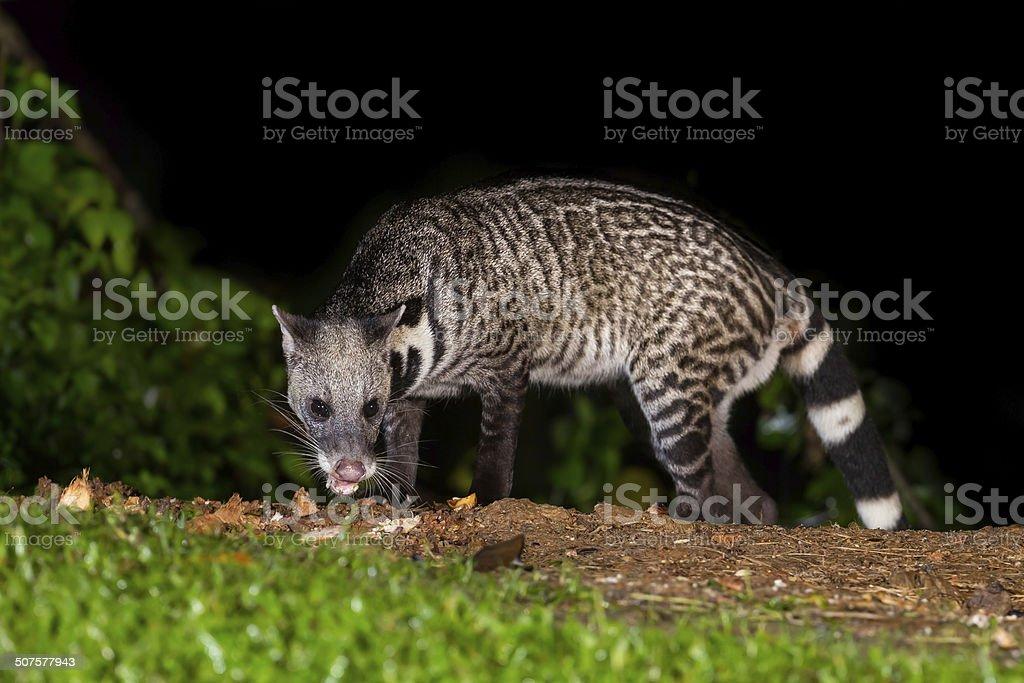 Nocturnal animals Viverra zibetha in nature at Kaengkrajarn national...