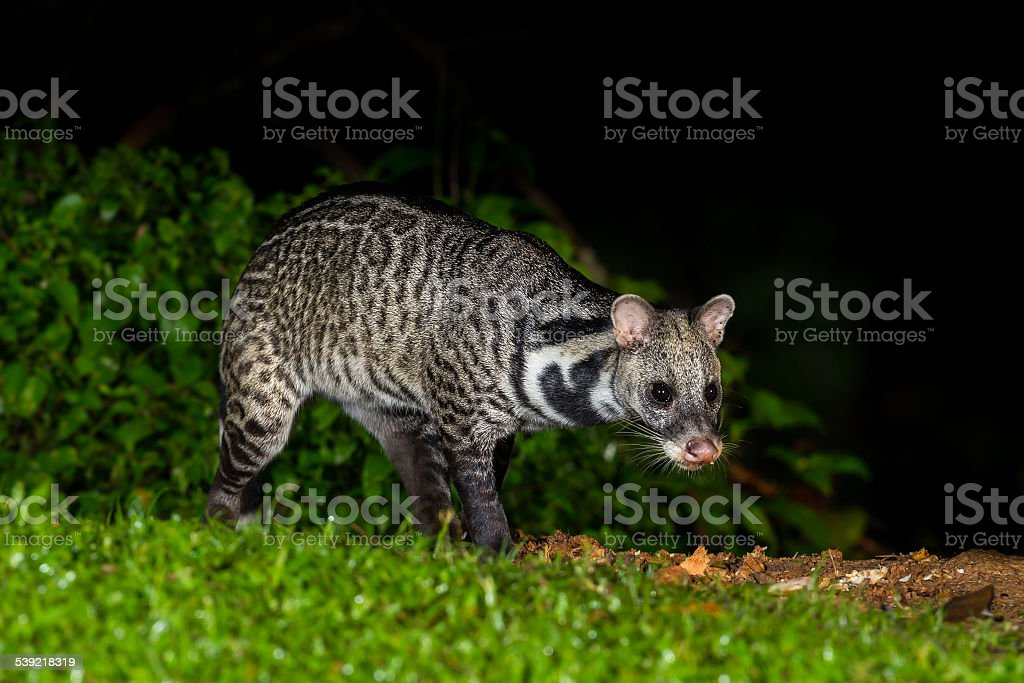 Nocturnal animals Viverra zibetha stock photo