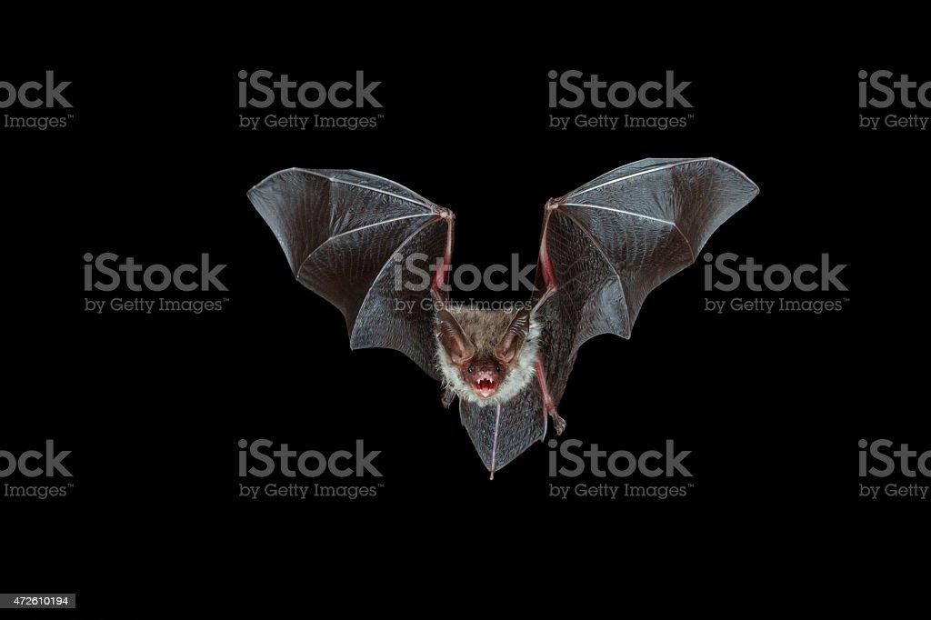 nocturnal flight of a bechstein?s bat stock photo