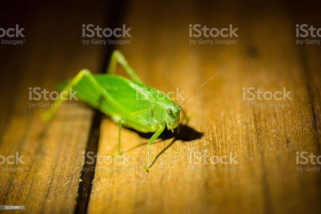 Nocturnal Green Katydid Leaf Bug in Costa Rica on Wood stock photo
