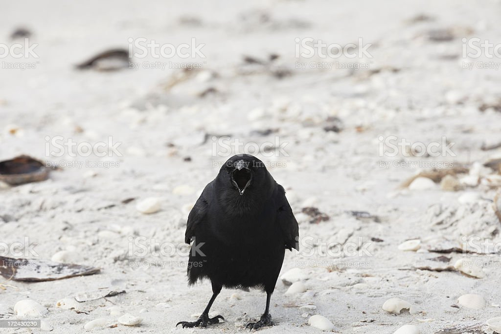 Noisy Crow Staring at me on the Beach stock photo