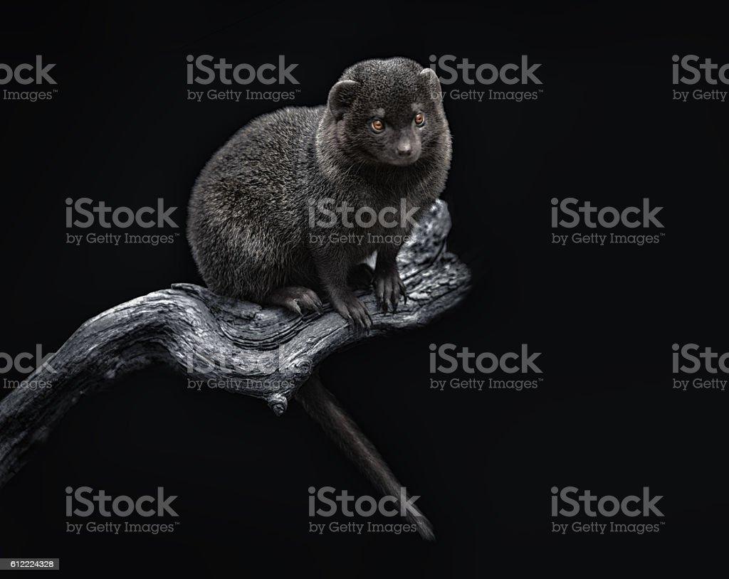 Noisy dwarf mongoose stock photo