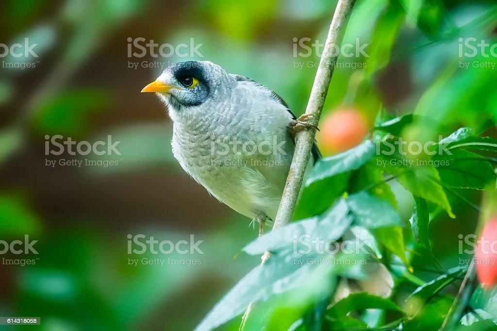 Noisy Miner Bird stock photo