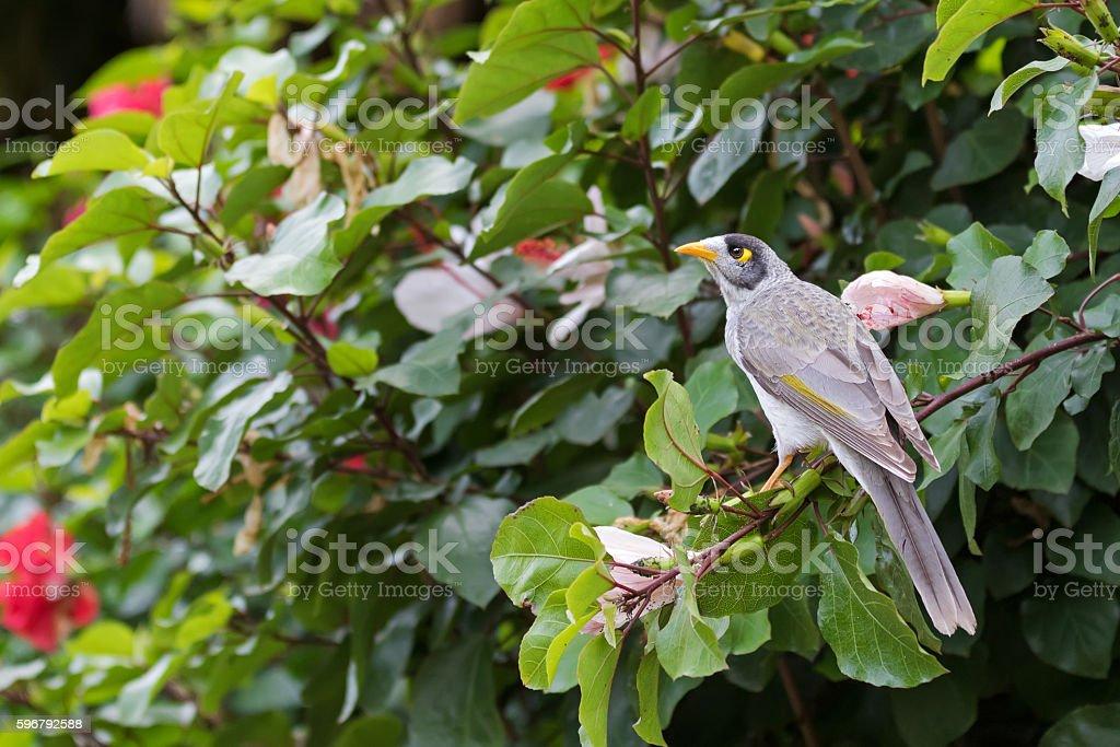 Noisy Miner, honeyeater bird perching on Hibiscus branch in garden stock photo