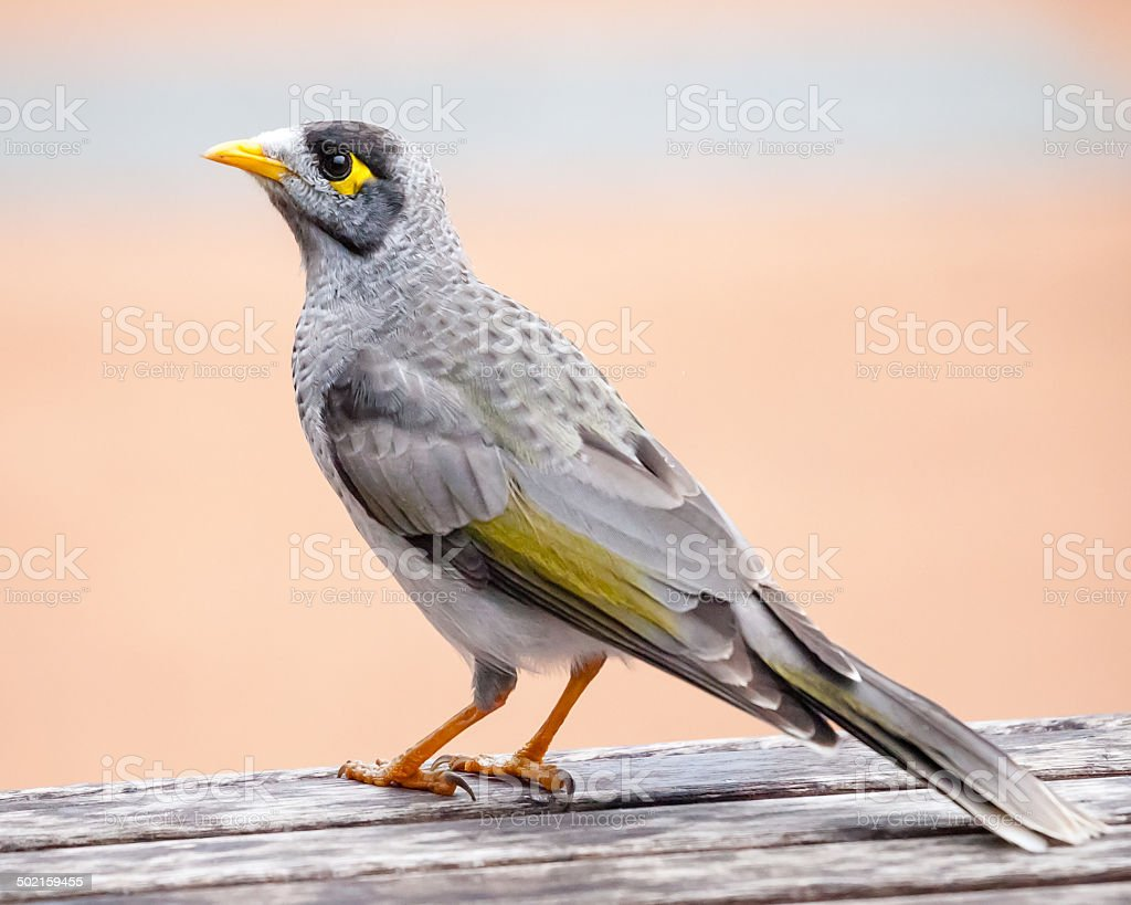 Noisy Miner Standing on a Wooden Table stock photo