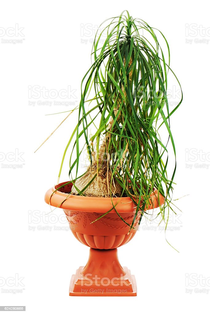 Nolina (Beaucarnea recurvata) in a flower pot isolated on white. stock photo