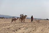 Nomad with camels  in the Danakil Desert Ethiopia