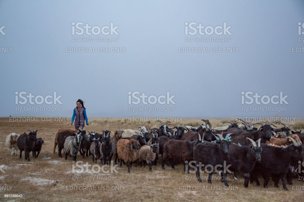 nomadic woman bringing home her sheep stock photo