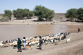 Nomads with herd of animals at the waterhole Danakil Ethiopia