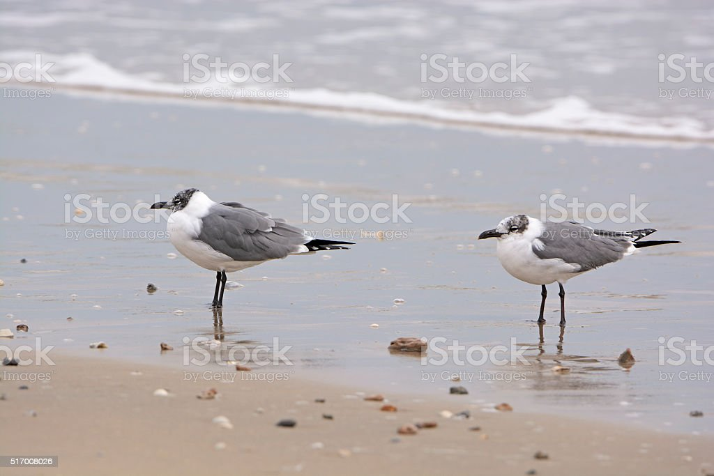 Non-breeding adult laughing gulls on the shore stock photo