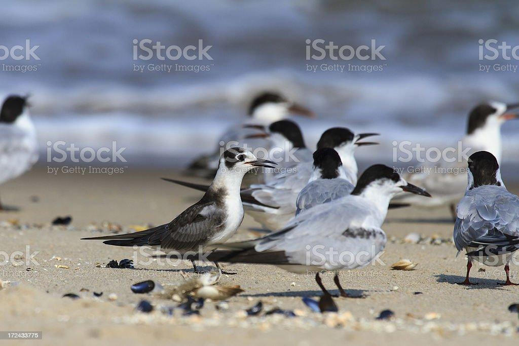 Non-breeding Plumaged Black Tern (Chlidonias niger) Among Other Terns stock photo