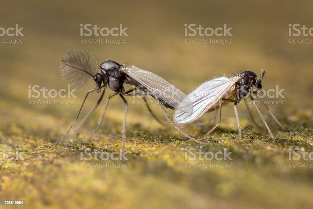 None biting midges mating stock photo