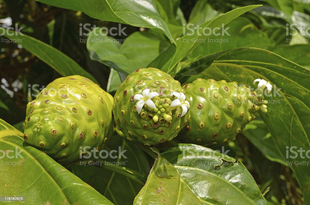Noni Fruit and Flower royalty-free stock photo