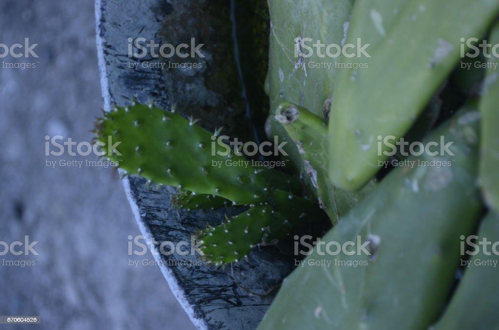 Nopal Creciendo stock photo
