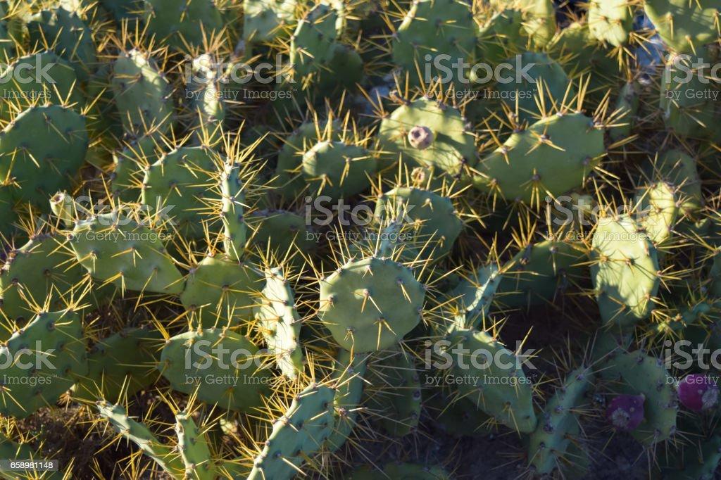 Nopal plant. Djerba island. Tunisia stock photo