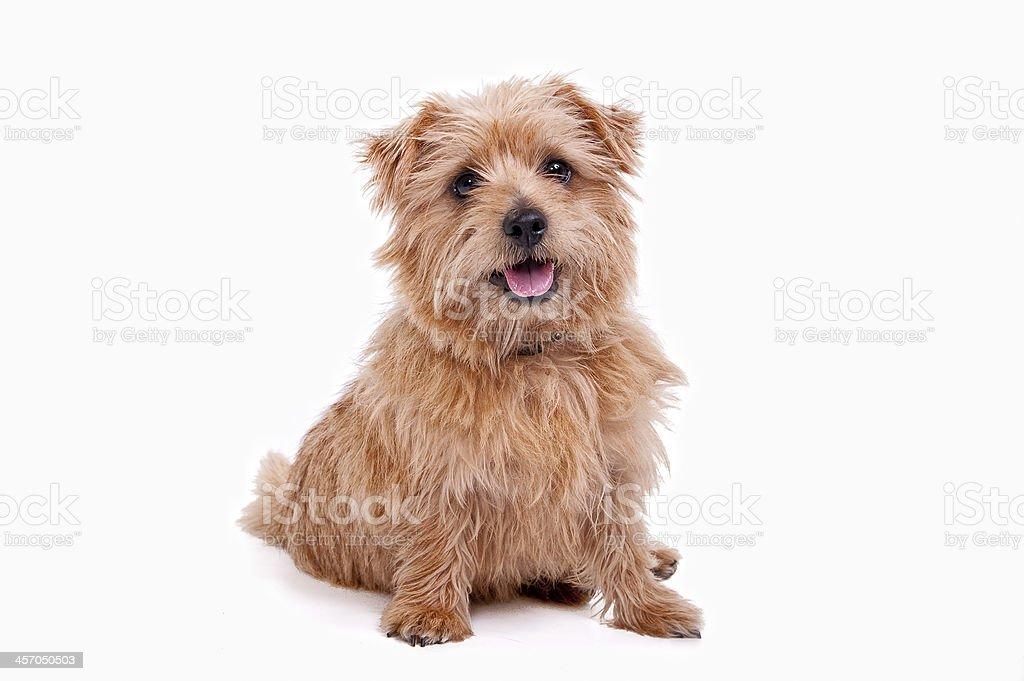 Norfolf Terrier stock photo