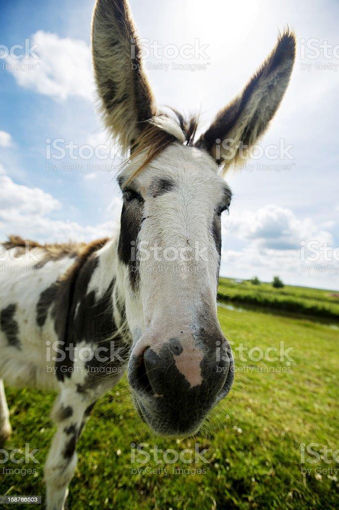 Norfolk Broads, Donkey close up royalty-free stock photo