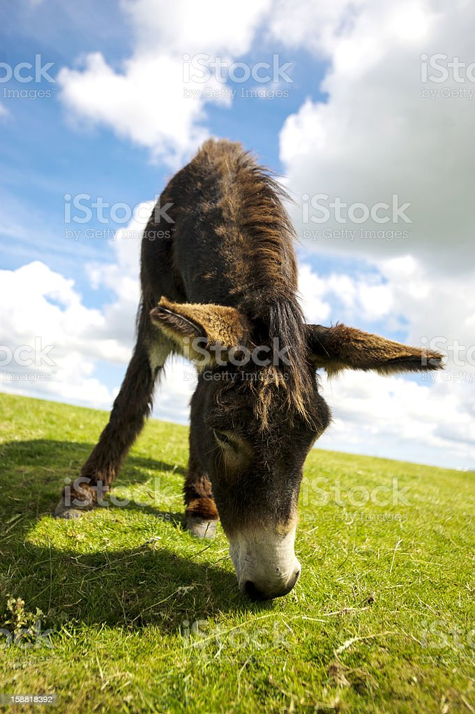Norfolk Broads, Donkey grazing on grass in the summer time royalty-free stock photo