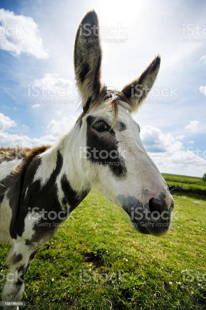 Norfolk Broads, Donkey side ciew close up royalty-free stock photo