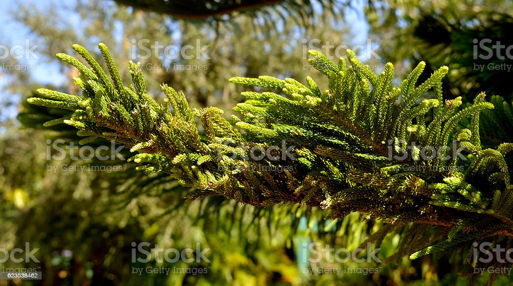 Norfolk Island Pine Latin name Araucaria heterophylla stock photo